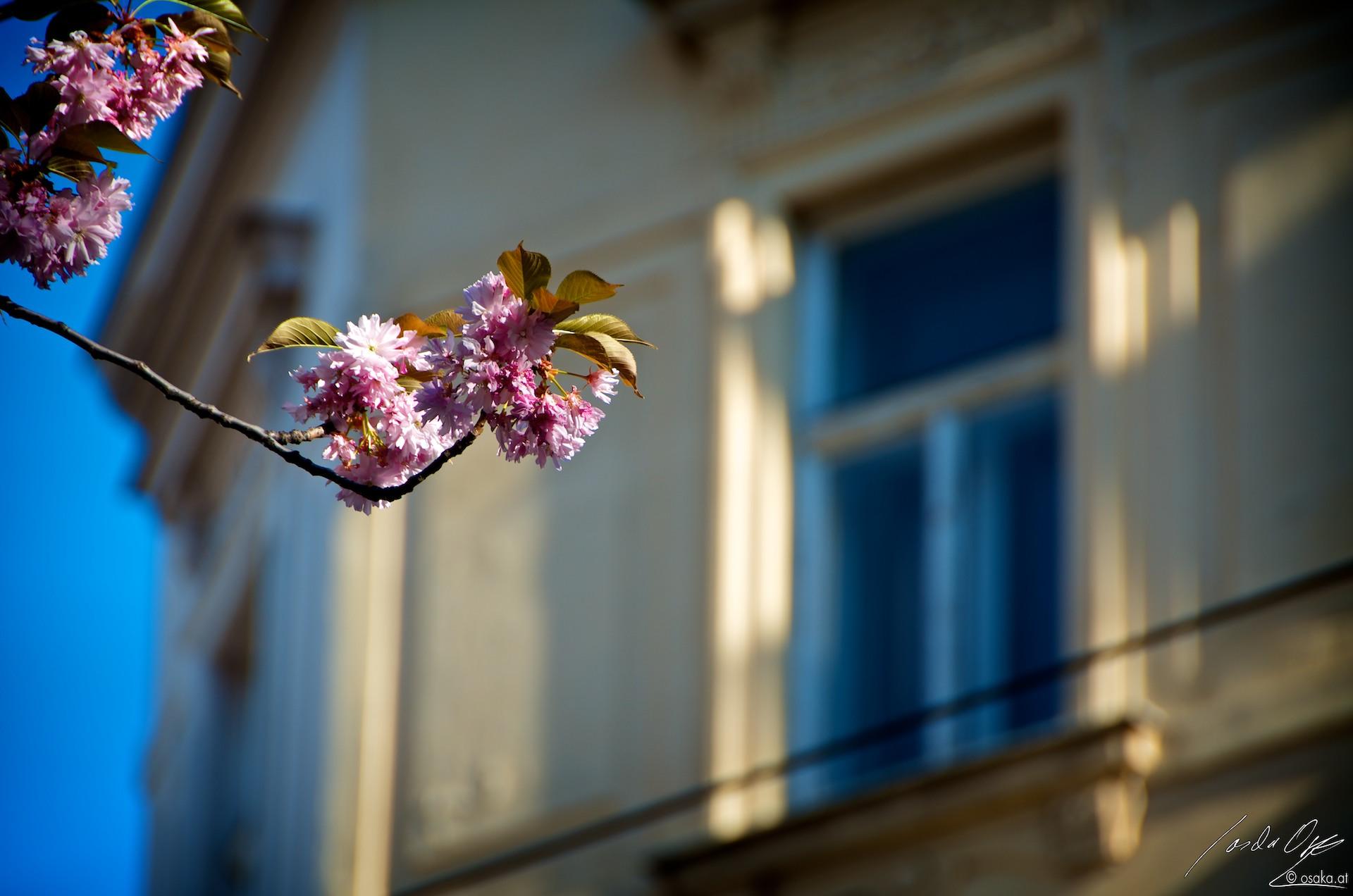 Zierkirschenblüte in Neubau
