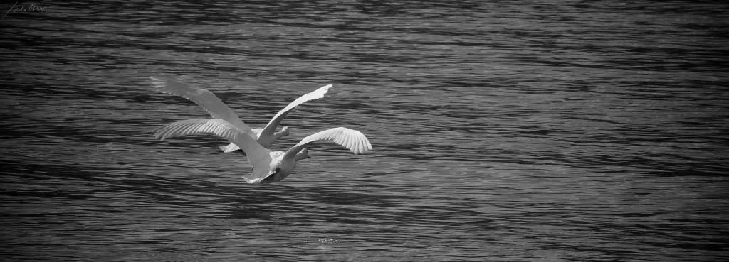 2 Schwäne im Tiefflug über der Donau